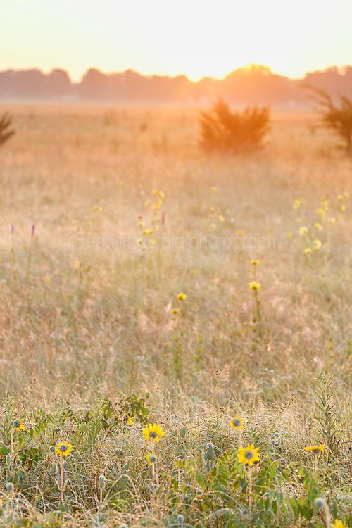 Field of backlit wildflowers at sunset on Blackland Prairie, Mary Talbot Prairie, owned by Native Prairies Association fo Texas (NPAT), Texarkana, Texas, Farmersville, Texas, USA. Need identification