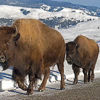 An American Bison (Bison bison) cow and calf walk along a snowy road Yellowstone National Park.
