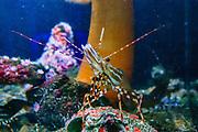 A spot prawn (Panalus platyceros) crawls below a giant plumose anemone (Metridium farcimen) in a tank at the Oregon Coast Aquarium, Newport, Oregon, USA.