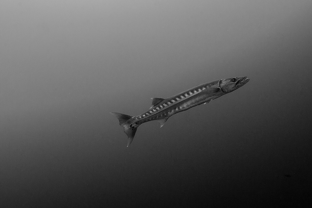 INDONESIA. Tulamben, Bali. July 6th, 2013. A large great barracuda (sp. sphyraena barracuda) swims on the seaward side of the USS Liberty wreck.  Normally, this species of barracuda will make its home in and around shipwrecks, preying on small baitfish that use the wreck for shelter.