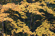 Yellow and orange autumn leaves on a large Bigleaf Maple Tree (Acer macrophyllum). Photographed at Duck Creek Park on Salt Spring Island, British Columbia, Canada.
