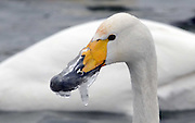 Swan's Frozen Mouth<br /> A swan's mouth being frozen and cannot eating food in Korla, Xinjiang, China on 04th February, 2015<br /> ©Exclusivepix Media