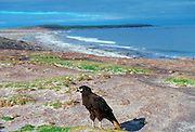 A Johnny Rook or Striated Caracara (Phalcoboenus australis), one of the world's rarest birds of prey, resting on the beach of Sea Lion Island in the Falklands, South Atlantic.