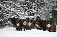 Wild boar (Sus scrofa), Alam-Pedja Nature reserve, Estonia.