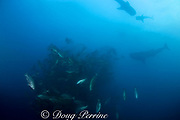 three whale sharks, Rhincodon typus, feed on the buoyant eggs rising from a spawning aggregation of cubera snappers, Lutjanus cyanopterus, Belize, Central America ( Caribbean Sea )
