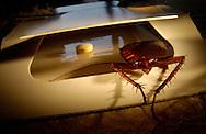 Deu, Deutschland: Amerikanischen Schabe (Periplaneta americana) klettert in eine Schabenklebefalle, angezogen durch die Pheromontablette in Mitten der Falle | Deu, Germany: American cockroach (Periplaneta americana) climbing into a cockroach glue trap, attracted by the pheromone tablet in the middle of the trap |