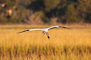 Woodstork flying over marsh