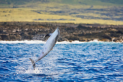 Long-snouted Spinner Dolphin, adult leaping, Stenella longirostris, off Kona Coast, Big Island, Hawaii, Pacific Ocean