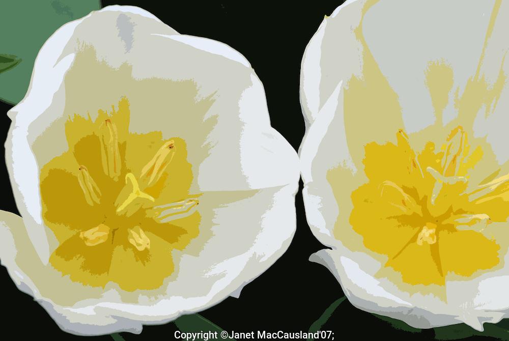 White Tulips + Yellow_Cut GH007