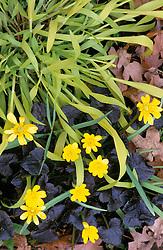 Milium effusum 'Aureum' with Ranunculus 'Brazen Hussy'