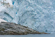 Gentoo penguins go for a swim in front of a glacier in the Herrera Chanel, Antarctica, on January 31, 2020.