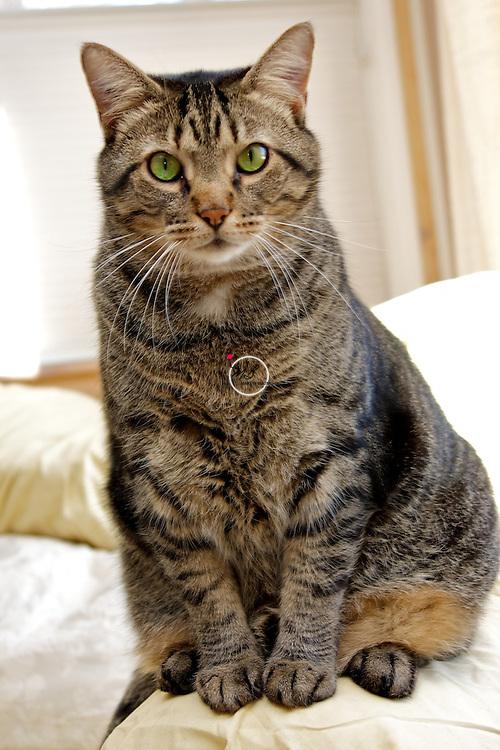 Felix the Tiger House Cat
