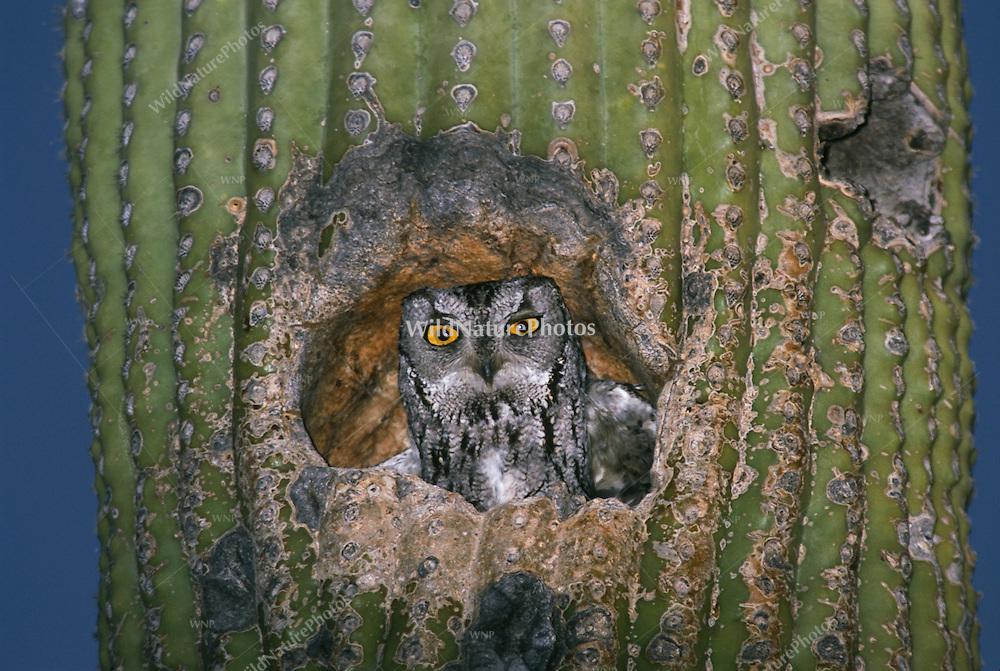 Western Screech Owl, Megascops kennicottii, in a Saguaro; Sonoran Desert, Arizona