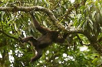 An Eastern Hoolock Gibbon (Hoolock leuconedys) swinging through the trees.