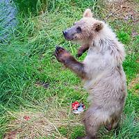 USA, Alaska, Katmai. Grizzly bear cub standing on two legs at Brooks Falls, Katmai National Park.