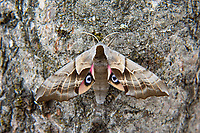 "A gorgeous one-eyed sphinx moth rests on a birch tree in Kent, Washington on a breezy early summer morning. Found primarily in the Rocky and Cascade Mountain Ranges as well as along most of the US-Canadian border where there are ample poplar and willow (host species) trees, these large perfectly camouflaged moths will flash their brightly-colored warning signs including ""false eyes"" if disturbed."