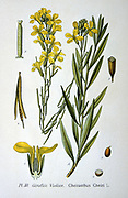 Wallflower (Cheiranthus cheiri, syn Erisinum cheiri)  Common Wallflower also called Gillyflower. Scented short-lived perennial.  From Amedee Masclef 'Atlas des Plantes de France', Paris, 1893.