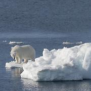 Polar bear (Ursus maritimus) on ice. Svalbard, Norway