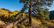 Yellow fall aspen colors below pinnacles of Silver Mountain, seen from Sunshine Campground, Uncompahgre National Forest, Telluride, Colorado, USA. This image was stitched from multiple overlapping photos.