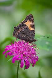 Small Tortoiseshell Butterfly (Aglais urticae L.) on Knautia macedonica