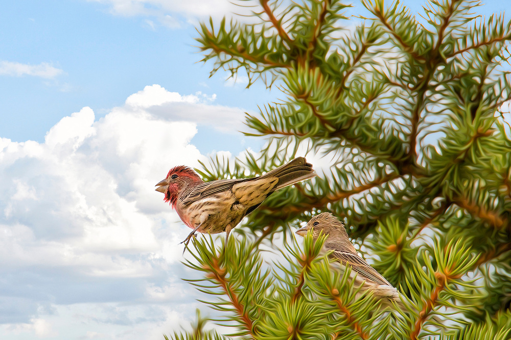 A Male and Female House Finch In A Pine Tree