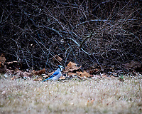 Blue Jay. Image taken with a Nikon D300 camera and 80-400 mm VR lens (ISO 280, 400 mm, f/5.6, 1/250 sec).