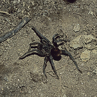 Cordillera Vilcabamba, Andes Mountains, Peru. Tarantula spider.
