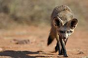 Bat-eared fox (Otocyon megalotis) | In seiner typischen Körperhaltung mit tief hängendem Kopf trabt ein Löffelhund (Otocyon megalotis), oft als Mitglied einer Familiengruppe, über das offene Grasland am Rande der Namib. Die Augen sind geradeaus gerichtet, die Ohren allerdings nach abwärts geneigt. Wie Satellitenschüsseln empfangen sie auch das kleinste Signal aus der Richtung, in die sie geschwenkt werden. Die begehrten Beuteobjekte wie grabende Käferlarven, versteckte Skorpione, krabbelnde Käfer, hüpfende Heuschrecken oder arbeitende Termiten werden so anvisiert. Nur relativ selten wird auch ein größerer Happen wie Mäuse, Reptilien oder auch Früchte verzehrt. Für diese recht mühselige Art der Ernährung müssen die Löffelhunde täglich große Strecken in der weiteren Umgebung ihrer Ruheplätze zurücklegen.