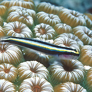 Cayman Cleaning Goby a cleaner fish, perch on cleaner station coral heads in Cayman Islands; picture taken Grand Cayman.