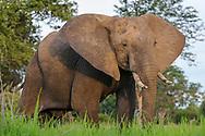 Impressionen aus dem South Luangwa Nationalpark in Sambia. Der Afrikanische Elefant (Loxodonta africana) ist eine Art der Familie der Elefanten.