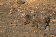 Indian Wild Boar - Sus scrofa cristatus - male