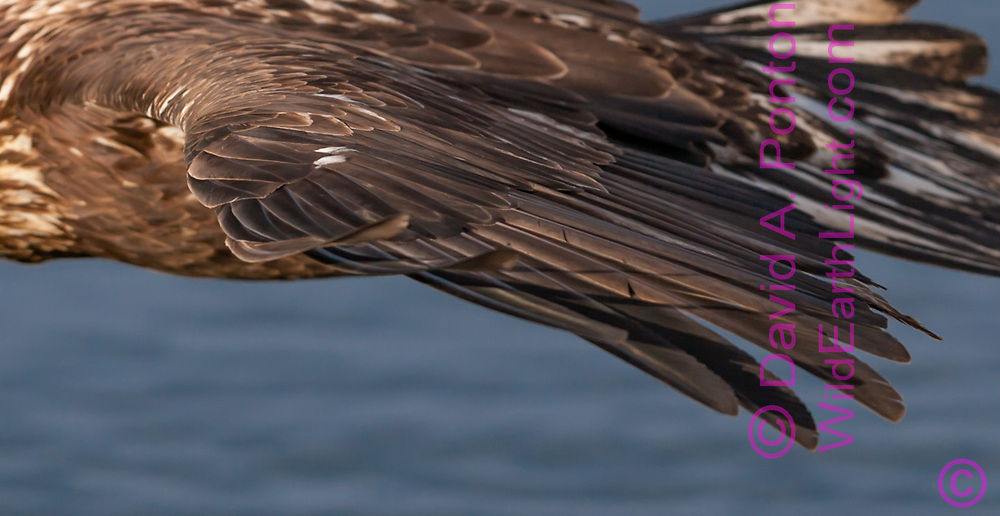 Juvenile bald eagle wing in flight showing airfoil contour and flex of primary wing feathers, Alaska, © David A. Ponton