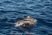 female and calf eastern spinner dolphins, Stenella longirostris orientalis, porpoising forward out of the water, offshore from southern Costa Rica, Central America ( Eastern Pacific Ocean )