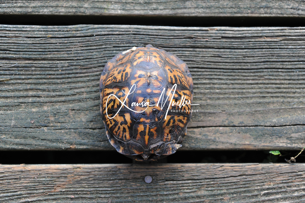 Eastern Box Turtle on a Lake Norman dock. photo © Laura Mueller 2010