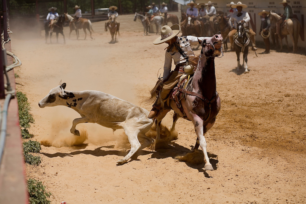 During the coleadero, a charro races alongside a steer, grabs it by the tail and knocks it off its feet. In the era of the Mexican hacienda, charros used this technique to down an animal that could then be branded or medicated.