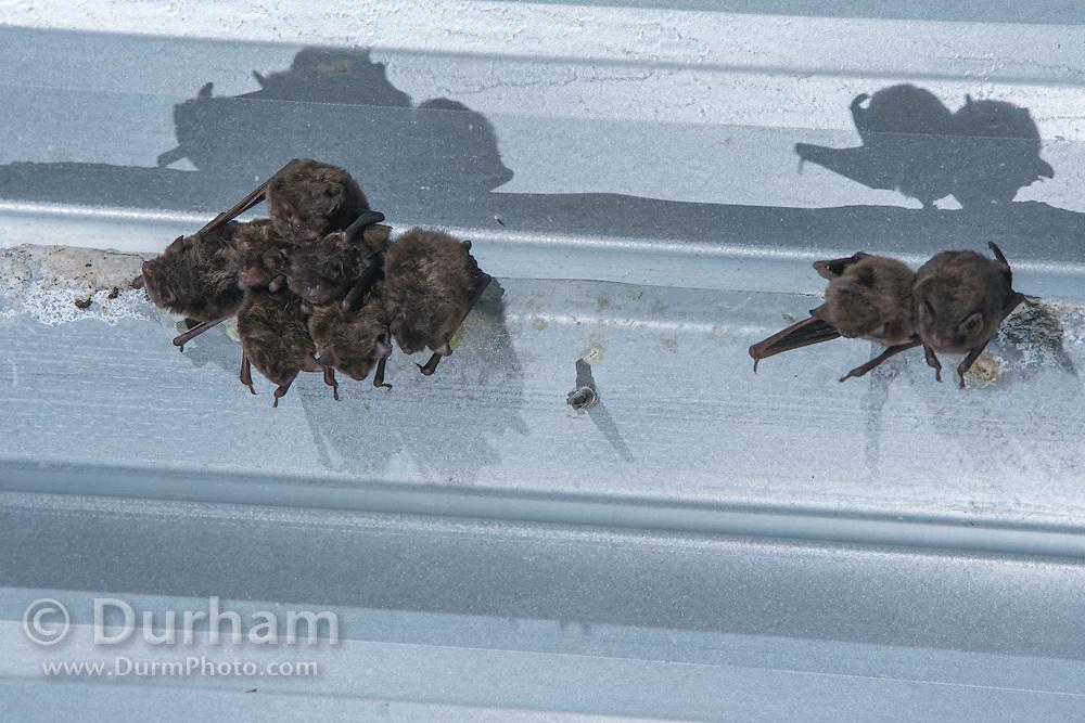 Indiana bats (Myotis sodalis) day roosting under a bridge in Indiana.