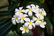 Plumeria Flower, Frangiapani