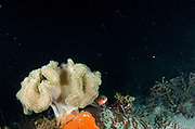 Mushroom leather coral (Sarcophyton sp) & Double-lined Fusilier (Pterocaesio digramma)<br /> Raja Ampat<br /> West Papua<br /> Indonesia