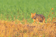 Golden Jackal (Canis aureus), also called the Asiatic, Oriental or Common Jackal, Photographed in Israel