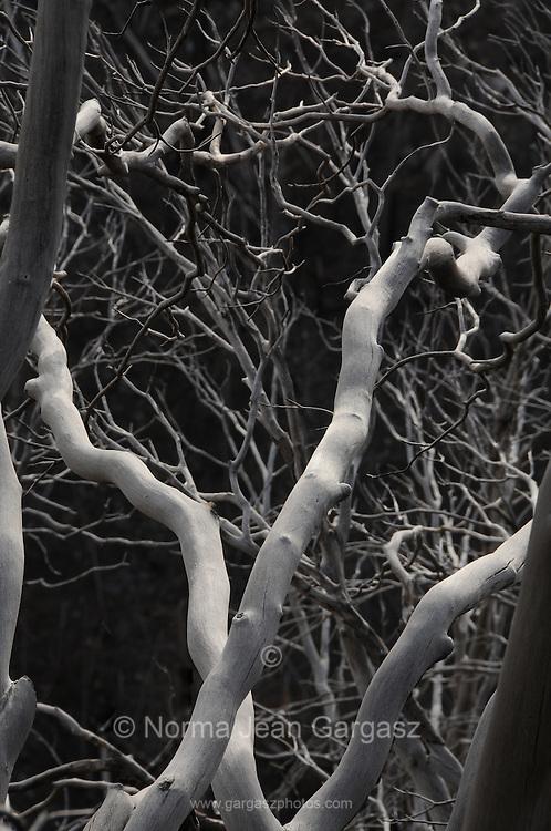 The remains of trees along the Oracle Ridge Trail on Mount Lemmon, Santa Catalina Mountains, Coronado National Forest, Sonoran Desert, Summerhaven, Arizona, USA.