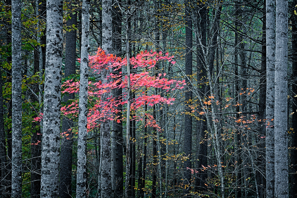 Autumn maple in color