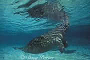 Florida manatee calf, Trichechus manatus latirostris, breathing at surface, Three Sisters Spring, Crystal River, Florida, USA, North America