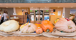 © Licensed to London News Pictures. 04/10/2016. London, UK. London, UK.  4 October 2016.  The RHS London Harvest Festival Show takes place at Linley Hall, celebrating produce from the UK's best growers and coveted first prizes awarded in the RHS Fruit & Vegetable Competition.  This year's highlight is the Heaviest Pumpkin Competition, won by Ben BenEliezer with a pumpkin (right) weighing 566kg or 12,478lbs. Photo credit : Stephen Chung/LNP