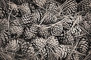 A nice pile of pinecones along the trail on Mount Jumbo. Missoula Photographer, Missoula Photographers, Montana Pictures, Montana Photos, Photos of Montana