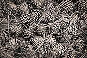 A nice pile of pinecones along the trail on Mount Jumbo. Missoula Photographer, Missoula Photographers, Montana Pictures, Montana Photos, Photos of Montana