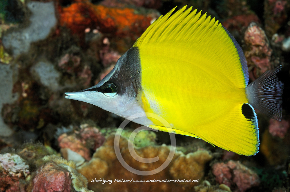 Forcipiger longirostris, Langmaul-Pinzettfisch, Big longnose butterflyfish, Bali, Indonesien, Indopazifik, Bali, Indonesia Asien, Indo-Pacific Ocean, Asia
