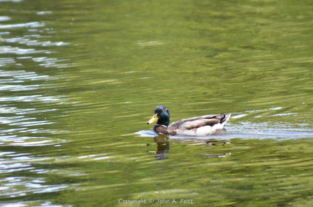 A duck/drake going for a midday swim at the Boston Public Garden, Boston, MA