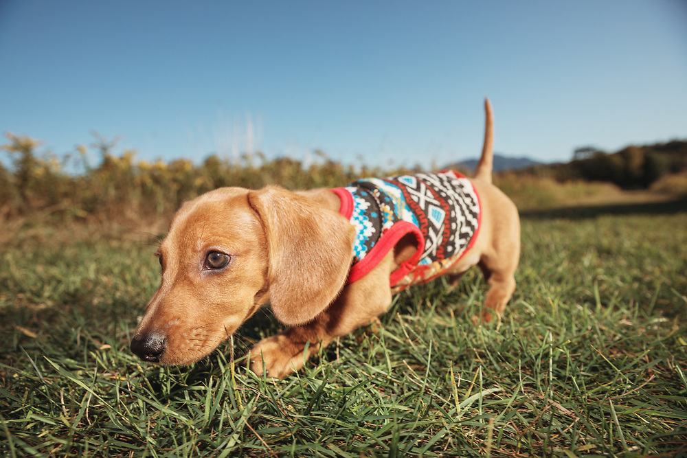 dachshund puppy walking in a field in the late day sun