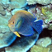 Potter's Angelfish inhabit reefs. Picture taken Hawaii. Endemic to Hawaii