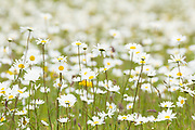 Summer meadow full of ox-eye daisies. Dorset, UK.